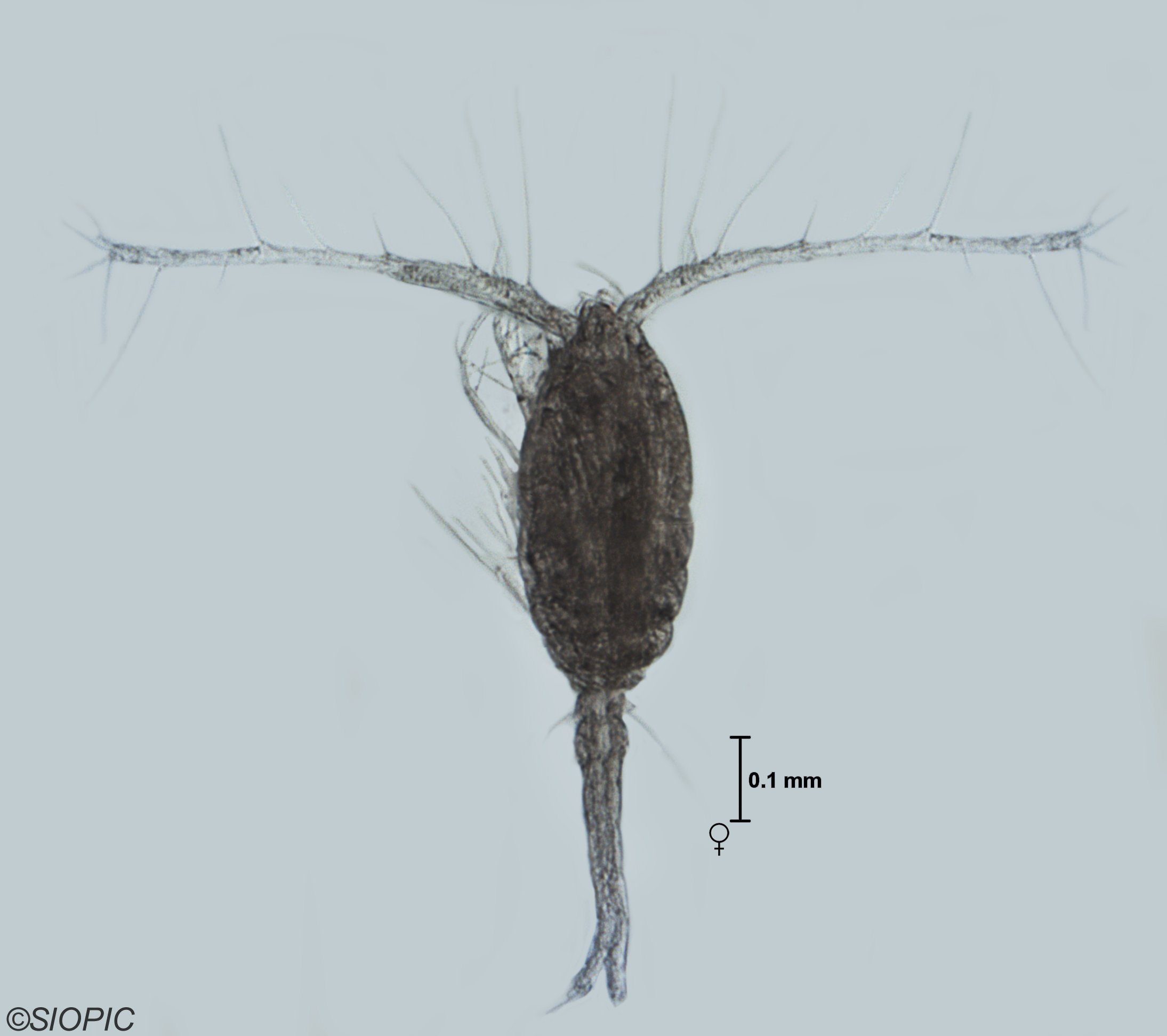 This cold water marine planktonic species was limited
