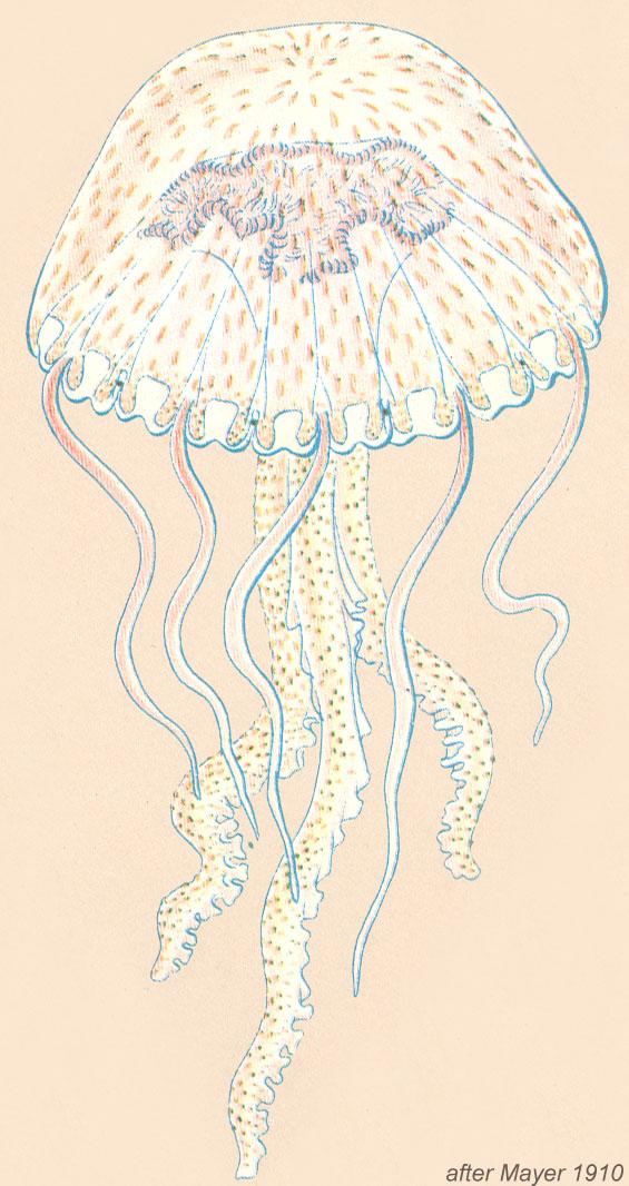 Pelagia Noctiluca Zooplankton Guide