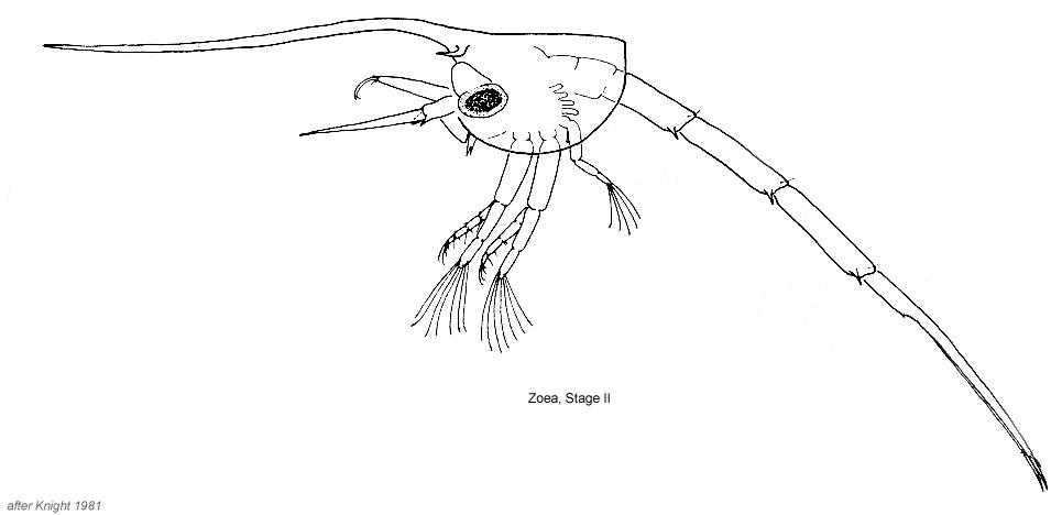 Blepharipoda occidentalis | Zooplankton Guide