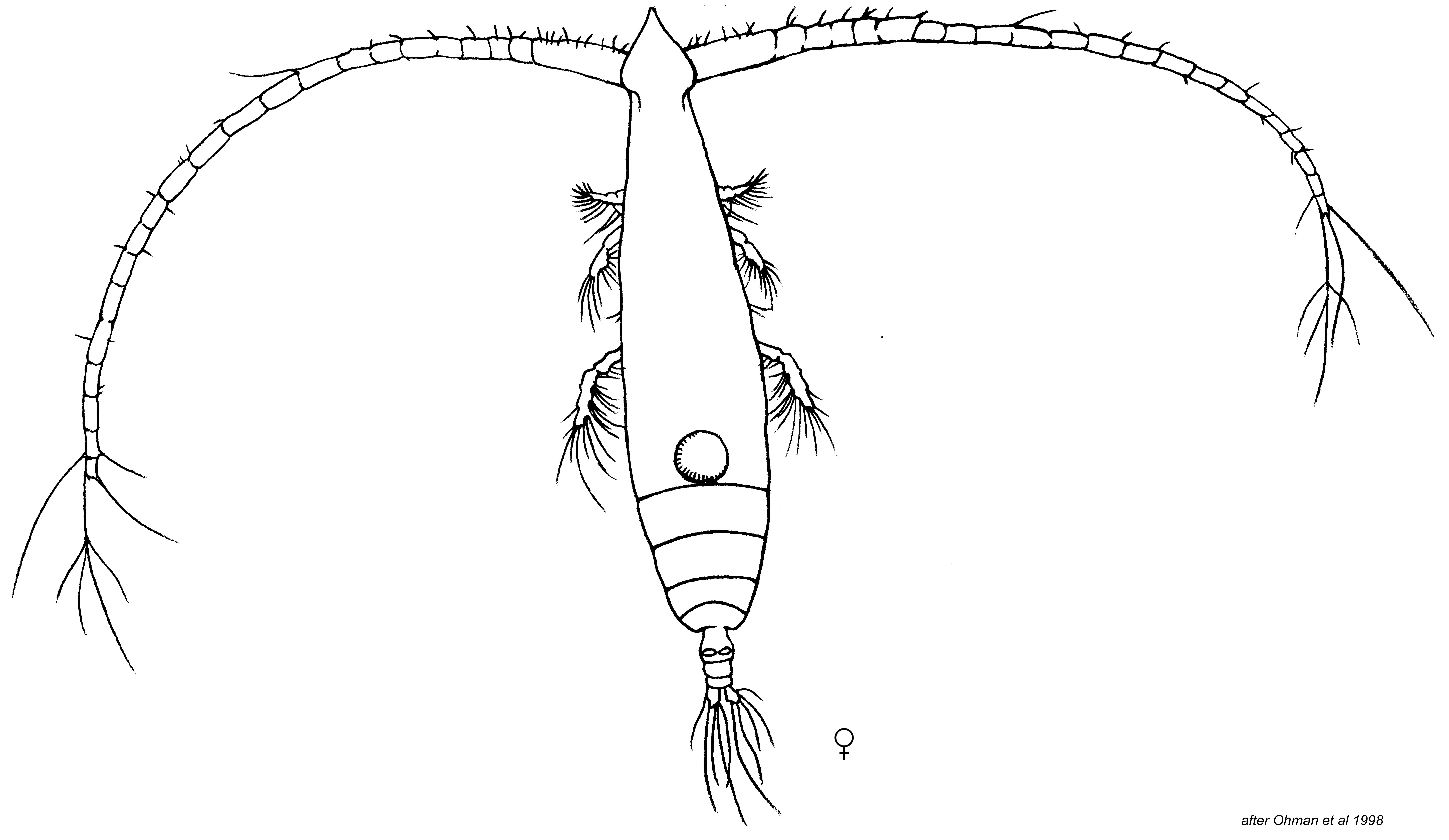 Eucalanus californicus | Zooplankton Guide