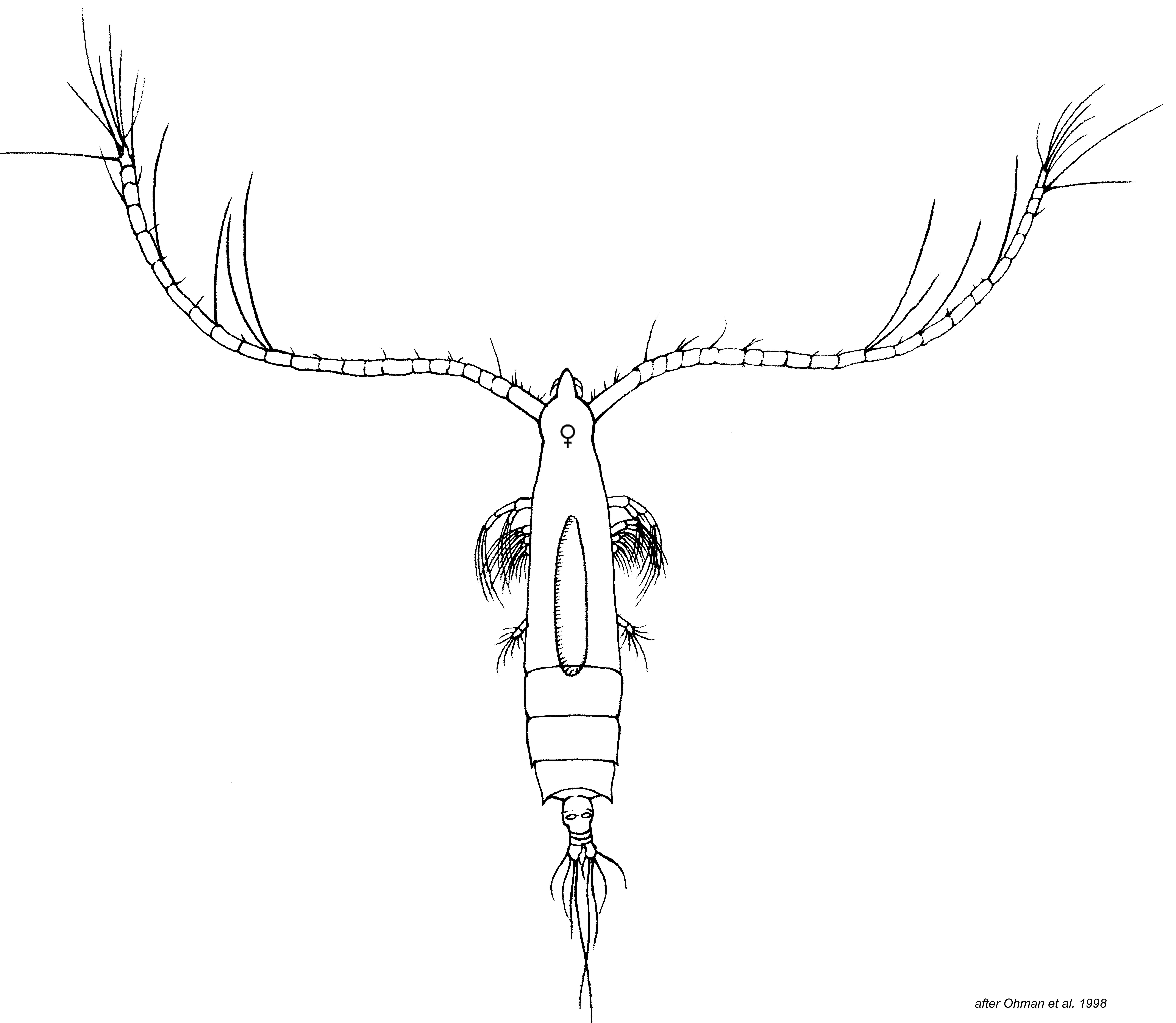 Rhincalanus nasutus | Zooplankton Guide